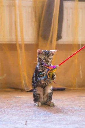 Photo pour Un chat bengale de race pure avec une belle couleur de laine joue dans la salle de couleur orange avec des jouets . - image libre de droit