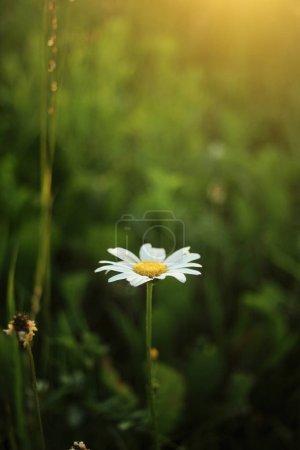 Beautiful daisy flower at sunset