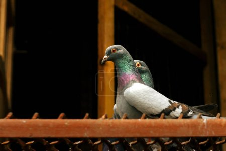 two pigeons with funny look