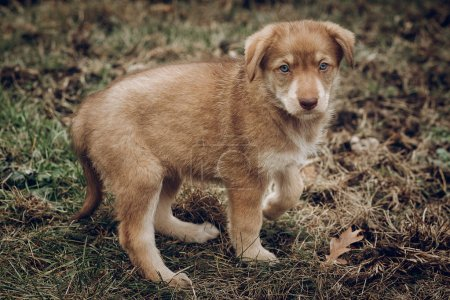 adorable brown puppy with amazing blue eyes on background of aut