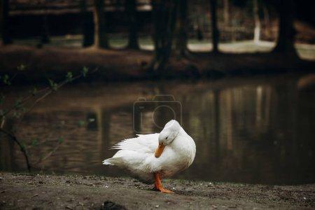 Duck standing on ground