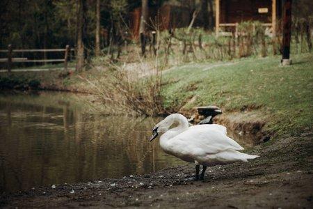 White swan standing near pond