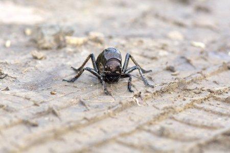 Bradyporus dasypus biggest cricket