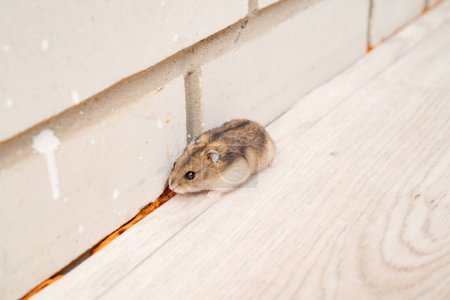 Mice or hamsters run all over the floor in the hou...