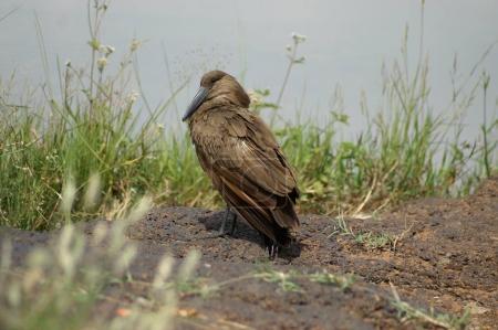 Photo pour Un oiseau Hamerkop au bord de l'eau au Kenya - image libre de droit