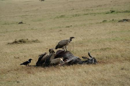 White-backed vultures feeding on a wildebeest carcass
