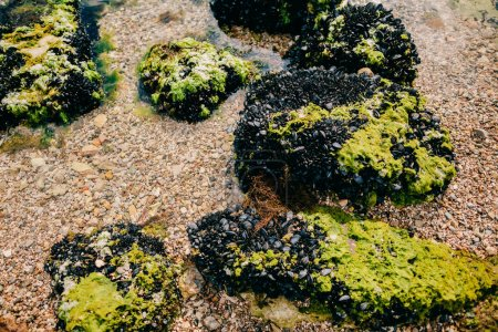 sea stones with mussels and seaweed