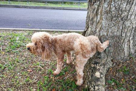 Photo pour Chien caniche mâle pisse sur le tronc d'arbre pour marquer son territoire - image libre de droit