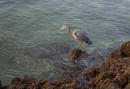 Blue Heron On Rocks 2