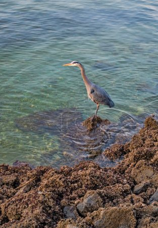 Blue Heron On Rocks 3