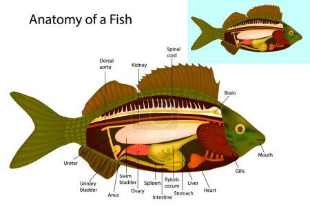 Anatomy of a fish (internal organs). Vector illust...
