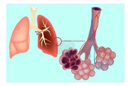 Diagram the pulmonary alveolus (air sacs) in the l...
