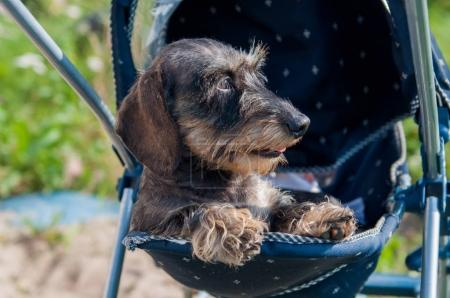 haired dachshund dog sleeping in a baby carriage