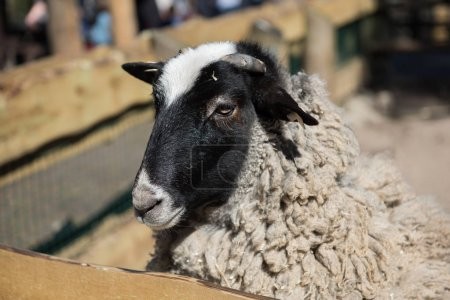 Portrait close-up of a young white sheep in a pen...