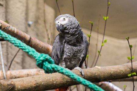 grey large parrot at the Zoo