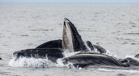 Humpback whales above water surface