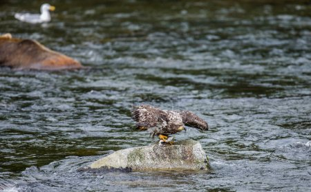 Eagle standing on a rock