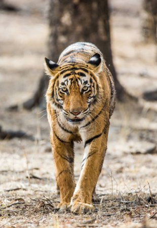 tiger goes among trees