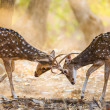 Постер, плакат: Two deer fighting