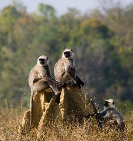 Langur monkeys sitting on termite mound