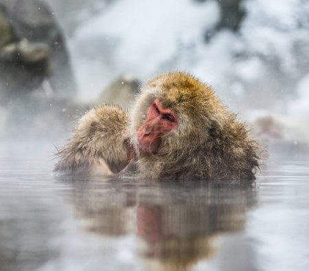 Japanese macaques in water in hot spring.