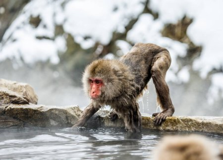 Macaque jumping through small river.