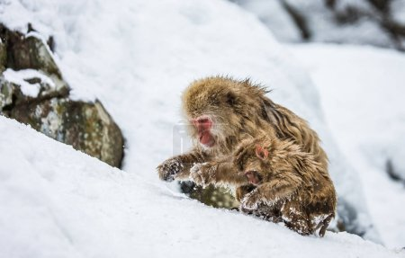 Mother with baby Japanese macaques in snow.