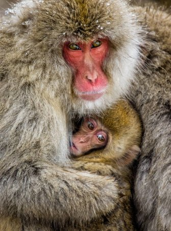mother with baby Japanese macaques.
