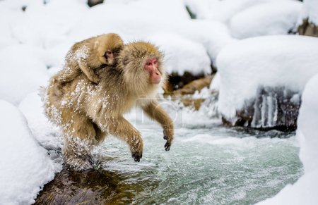 Japanese macaques jumping through river.