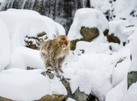 Japanese macaque on rocks