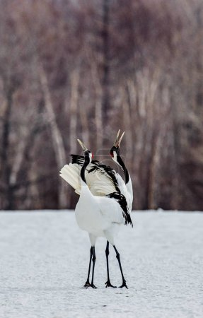 Japanese Cranes on snow