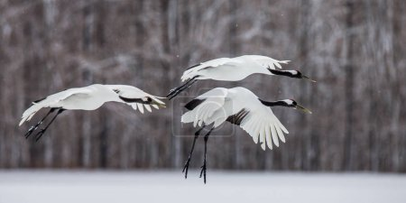 Group of Japanese cranes in flight