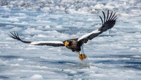 Steller's sea eagle in flight with prey