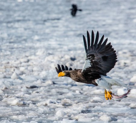 Steller's sea eagle in flight with prey