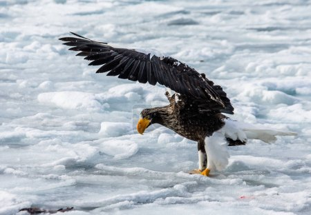 Steller's sea eagle sitting on ice