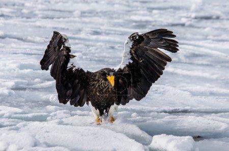 Steller's sea eagle sitting on ice