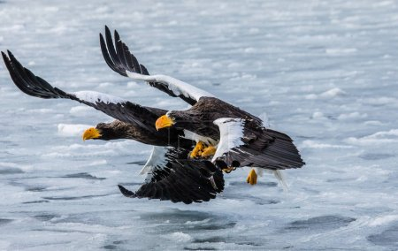 Steller's sea eagles flying