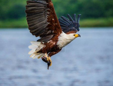 African fish eagle in flight.