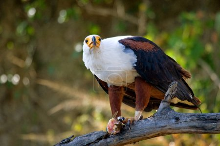 African fish eagle on branch