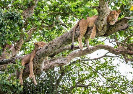 Two lionesses on big tree