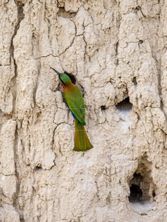 Bee-eater sits near its hole.