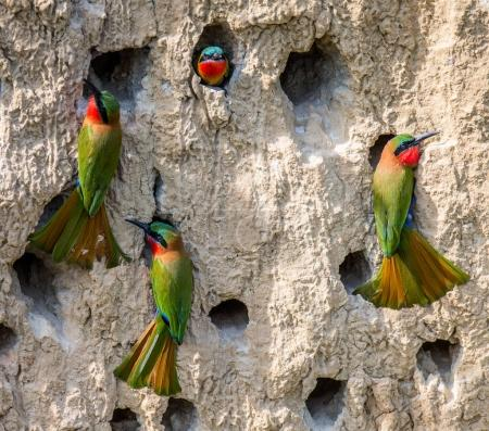 Big colony of Bee-eaters
