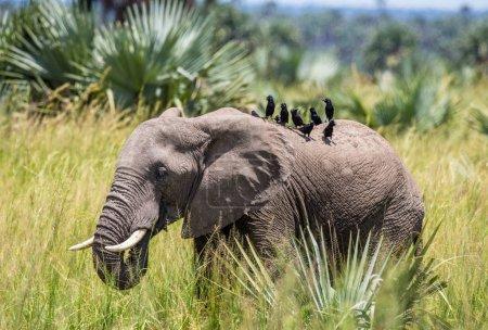 Elephant walks along grass
