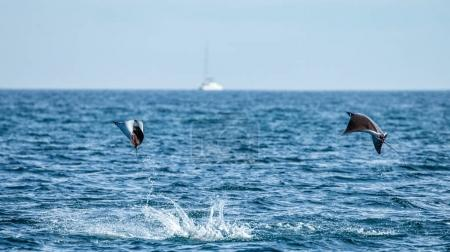 Mobula rays jumping out of water