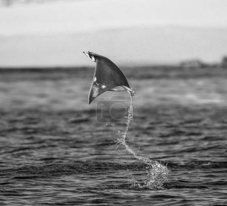 Mobula ray jumping out of water