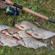 Постер, плакат: Several common bream fish crucian fish roach fish bleak fish