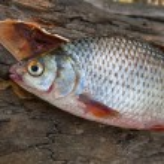 Постер, плакат: Several common roach fish on green grass Catching freshwater fi