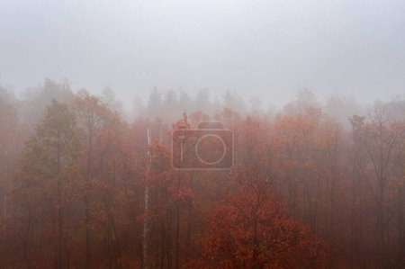 Photo pour Foggy automne coloré forêt caduque. Forêt dense tôt le matin - image libre de droit