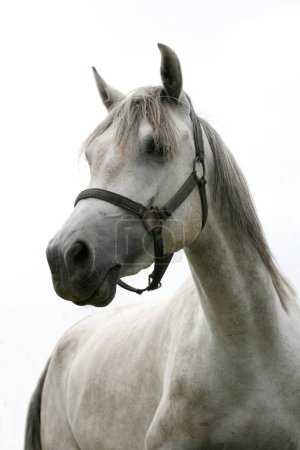 Gray colored young stallion posing for camera