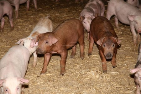 Livestock breeding. Group of newborn piglets in fa...